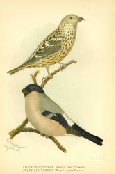 A two-barred crossbill finch (Loxia leucoptera) in first plumage and an adult male Cassin's bullfinch (Pyrrhula cassini) in: