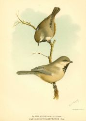 The boreal chickadee ( Parus hudsonicus) and Siberian tit (Parus cinctus) in: