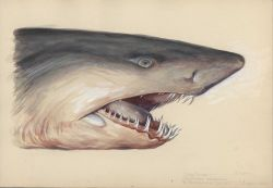 Grey nurse shark (Carcharias taurus). Photo