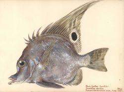 Black-spotted boarfish (Zanclistius elevatus) Photo