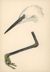 Detail drawing of head and foot of egret Photo