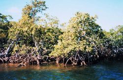 Typical red mangrove with prop roots - characteristic of high salinity area Photo
