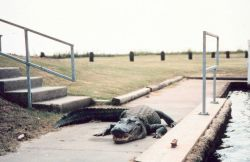 I wish folks would keep their pets on leashes! A very large alligator causes the average pedestrian to consider a detour. Photo