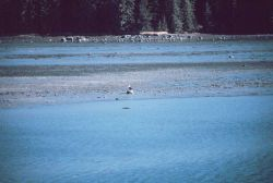 An eagle on the beach at Wrangell Narrows Photo
