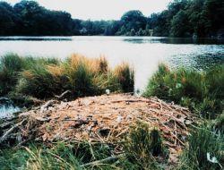 Mute swan nest Photo
