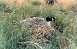 Female Canada goose setting on nest Photo