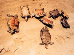 Mass mortality of young diamondback terrapins Photo