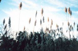 Phragmites, or common reed - although scenic, can be invasive nuisance species. Photo