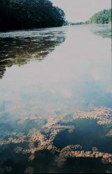 Back finger of a tidal pond full of the submerged aquatic vegetation (SAV) Eurasian watermilfoil. Photo