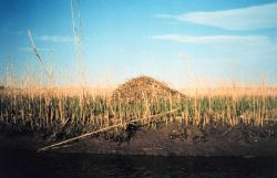 A muskrat hut in a middle Patuxent river marsh Photo