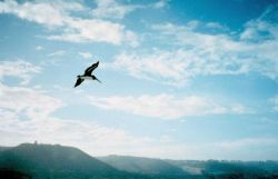 Pelican in flight Photo