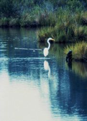 A Great Egret. Photo