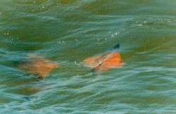 Schools of Cow-nosed Rays - Rhinoptera bonasus - are a familiar sight in the Chesapeake Bay. Photo