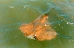 A Cow-nosed ray - Rhinoptera bonasus - near the surface, near the mouth of the Patuxent River. Photo