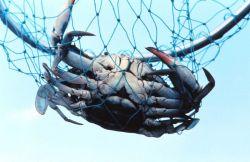 A mature female blue crab (Callinectes sapidus), known colloquially as a