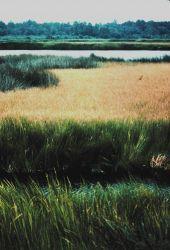Black needle rush and Saltmarsh cordgrass (Spartina) Photo