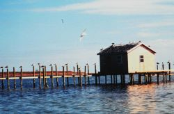 Seagulls occupying almost every piling along a Tangier Island waterman's dock. Photo
