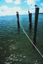 Pelicans and gulls relax on handy pilings Photo