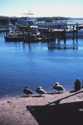 Pelicans and seagulls frequent the A Photo