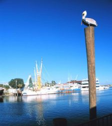 A pelican makes use of a piling as a perch Photo