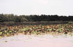 Lotus plants differ from water lilies in the shape of the leaves and the seed pods. Photo