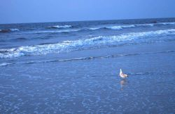 A seagull wading in the surf near the Edwin S Photo