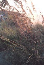 Sea oats in the morning sun Photo