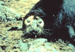 Oil covered seal Photo