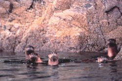 Curious sea otters checking out the photographer Photo
