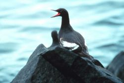 Marine bird squawking Photo