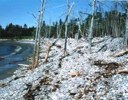 Mosquito Cove cobble beach showing progressive landward migration of shoreline. Photo