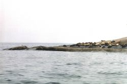 Harbor seals on Muscle Ridge Island. Photo