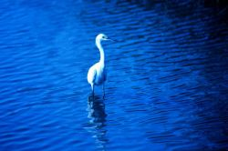 A great white egret in the tidal waters of Charleston harbor. Photo