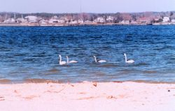 A tundra swan family cruising along the Patuxent River. Photo