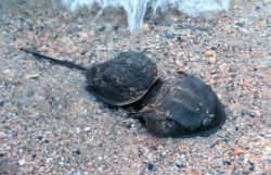 A Class B pair of horseshoe crabs spawning in the shallows at Flag Ponds Nature Park, a unit of Montgomery County, Maryland, public schools. Photo