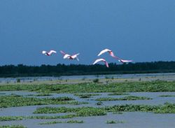 Flight of roseate spoonbills flying above the Everglades. Photo