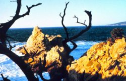 Point Lobos with sublime view of granite headland framed between branches of an ancient Monterey cypress. Photo