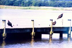Turkey vultures on a Patuxent River pier. Photo