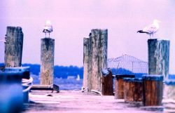 Gulls on a pier. Photo