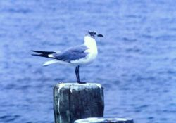 A Laughing Gull. Photo