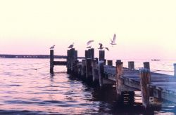 Gulls on a pier at sunset. Photo