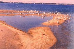Sea gulls on a Patuxent River beach. Photo