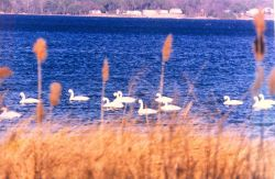 Tundra swans near the mouth of the Patuxent River Photo