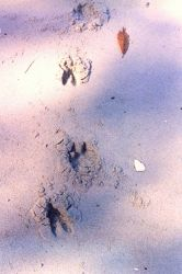 Deer tracks on the beach. Photo