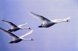 Mute swans in flight Photo