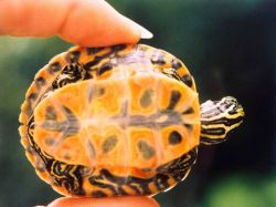 A baby red-bellied slider turtle (Pseudemys rubriventris rubriventris.) Photo