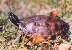 A 3-year old red-bellied slider turtle (Pseudemys rubriventris rubriventris.) Photo