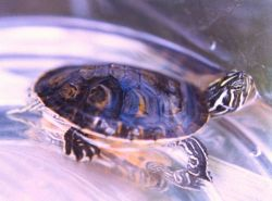 A young Redbelly Slider turtle (Pseudemys rubriventris rubriventris.) Photo