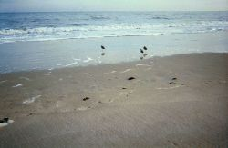 Shore birds looking for dinner in the swash from the surf. Photo