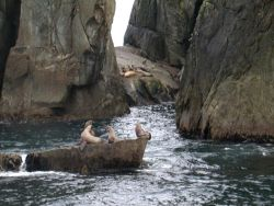 Sea Lions at the Chiswell Islands National Wildlife Refuge Photo